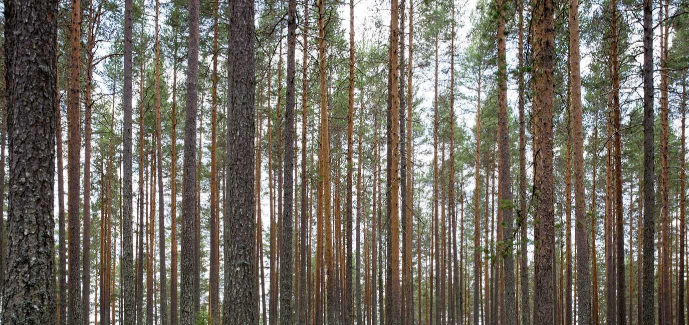 деревья вампиры