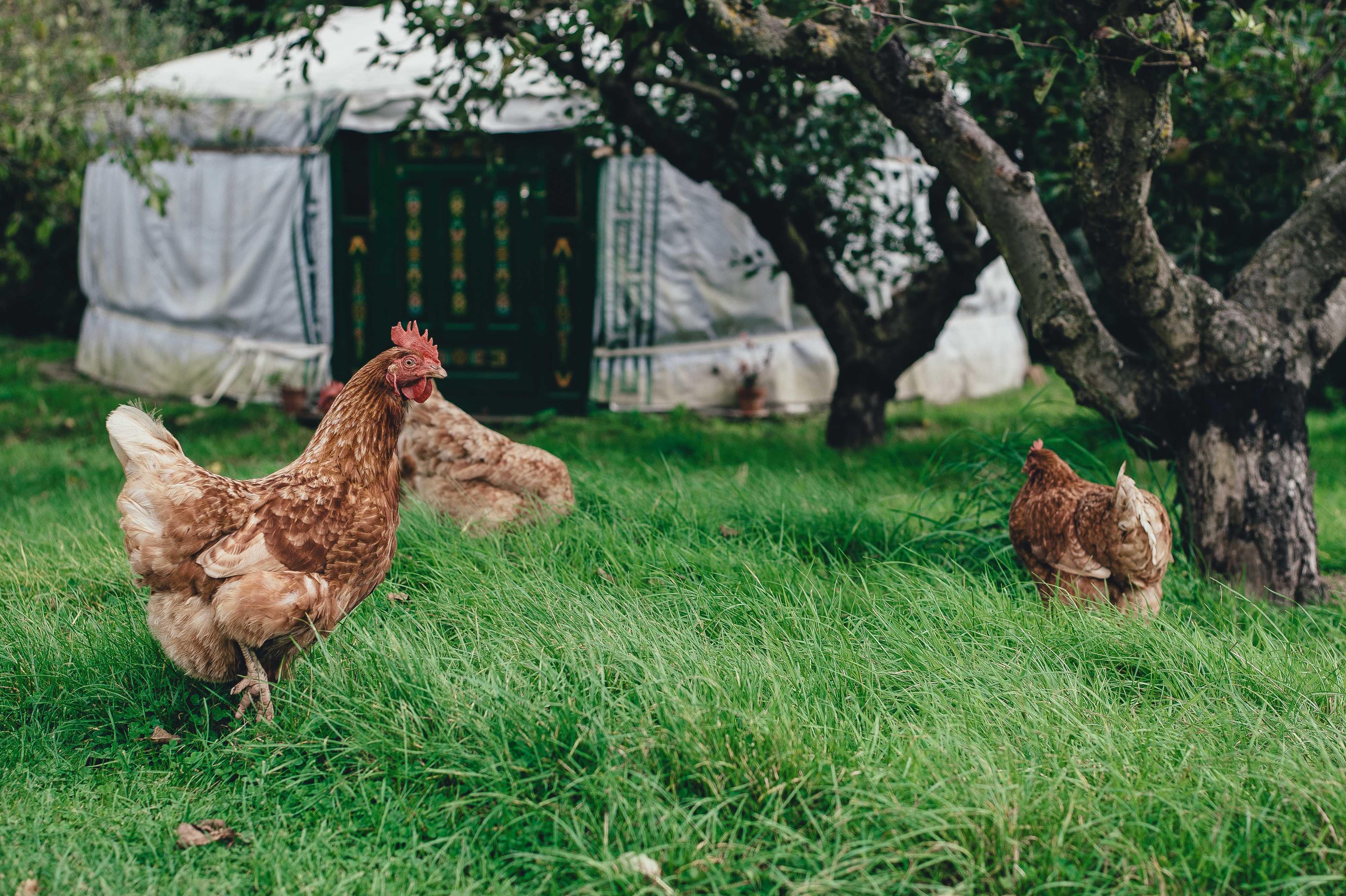 колдовской заговор на курицу